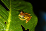 Tree frog [costa_rica_siquirres_0955]