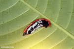 Caterpillar [costa_rica_siquirres_0982]