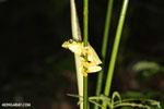 Gliding Leaf Frog (Agalychnis spurrelli)