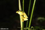Spurrell's Leaf Frog (Agalychnis spurrelli)