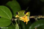 Gliding Treefrog [costa_rica_siquirres_1008]