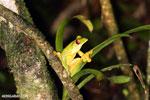 Agalychnis spurrelli treefrog