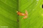 Agalychnis spurrelli tree frog [costa_rica_siquirres_1017]