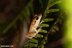 Craugastor crassidigitus frog