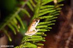 Craugastor crassidigitus frog [costa_rica_siquirres_1026]