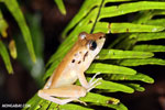Craugastor crassidigitus frog [costa_rica_siquirres_1028]