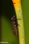 Bug [costa_rica_siquirres_1048]