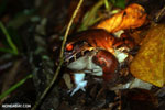Smokey jungle frog [costa_rica_siquirres_1054]
