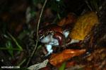 Smoky jungle frog [costa_rica_siquirres_1056]