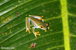Red-eyed tree frog [costa_rica_siquirres_1063]