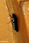 Bug [costa_rica_siquirres_1073]