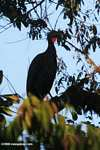Crested Guan (Penelope purpurascens) [cr_3821]