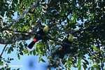 Swainson's Toucan (Ramphastos swainsonii)