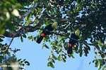 Swainson's Toucan (Ramphastos swainsonii) [cr_3891]