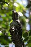 Lesser Potoo (Nyctibius griseus) perched on a spiny tree [formerly tagged Short-tailed Nighthawk (Lurocalis semitorquatus)]