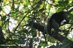 Arboreal Lesser Anteater (Tamandua tetradactyla) [cr_4321]