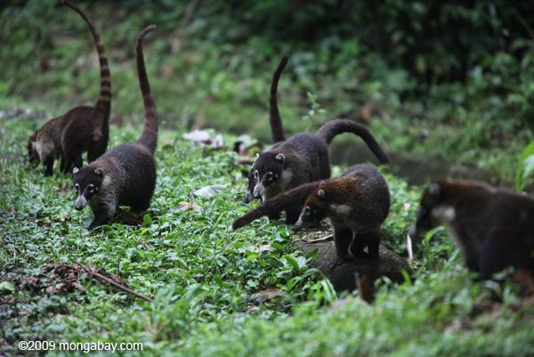 Group of White-nosed Coati [costa-rica_0687]