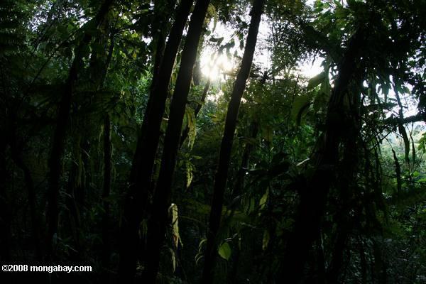 Fern grove in the Costa Rican rainforest [costa_rica_4634]