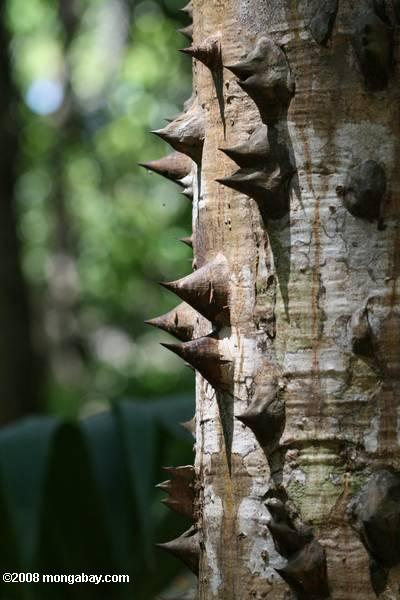Thorns on a rainforest tree trunk