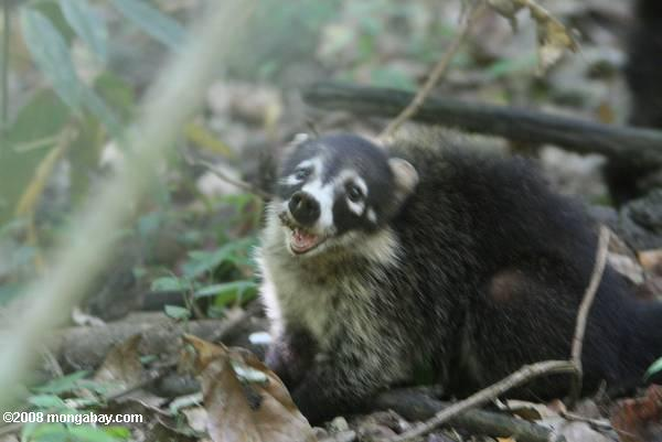 White-faced Coatimundi (Nasua narica)
