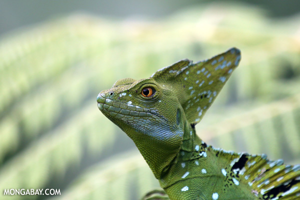 Green basilisk (Basiliscus plumifrons) in Costa Rica. Photo by: Rhett A. Butler.