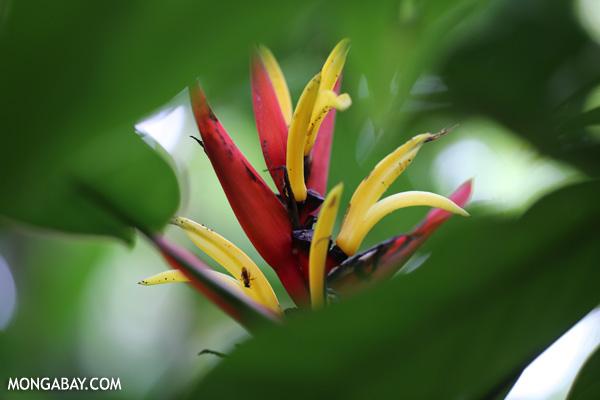 Heliconia [costa_rica_siquirres_0740]