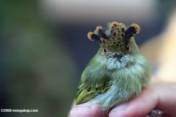 Scale-crested Pygmy-tyrant (Lophotriccus pileatus)