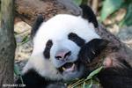 Giant panda population rises by nearly 17 percent