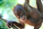 30 illegal orangutan pets seized in West Kalimantan