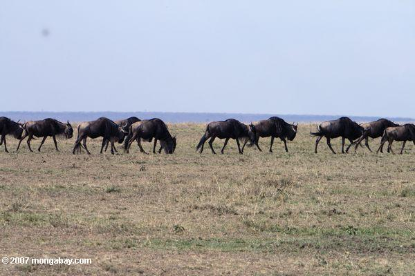 Column of Wildebeest; part of their famous migration
