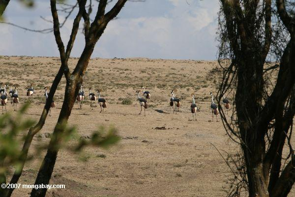 Crowned Cranes (Balearica regulorum)