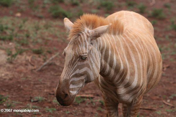 Zebra T Shirt kenya_4155