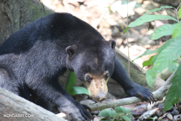 Borneo sun bear [sabah_sepilok_0621]