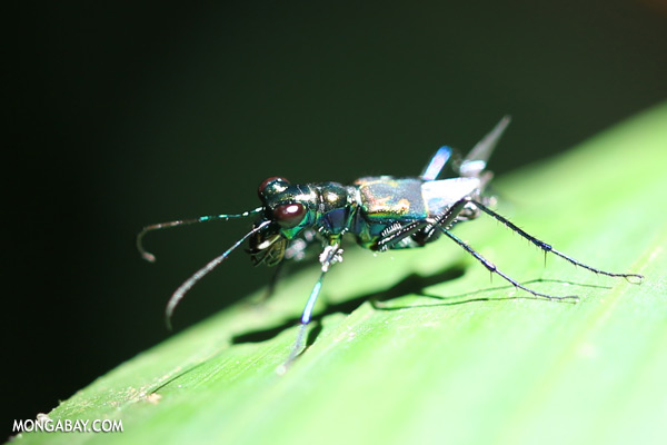 tiger beetle in malaysia sabahtawau0407