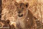 African lion -- tz_1599