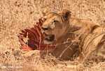 Lioness with zebra kill -- tz_1625