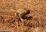 Vervet monkey looking through elephant dung for seeds