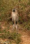 Male vervet monkey standing tall