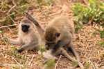 Vervet Monkeys doing monkey business -- tz_2460