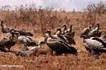 Vultures feeding on a wildebeest carcass