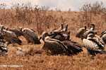 Vultures feeding on a wildebeest killed by lions
