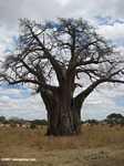 African Baobab (Adansonia digitata)