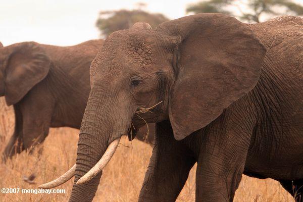 Are Elephants Mammals >> African elephant eating savanna grass
