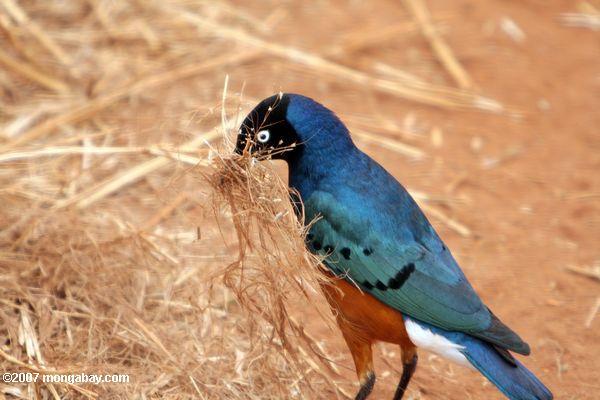 Superb starling (Lamprotornis superbus) collecting grass