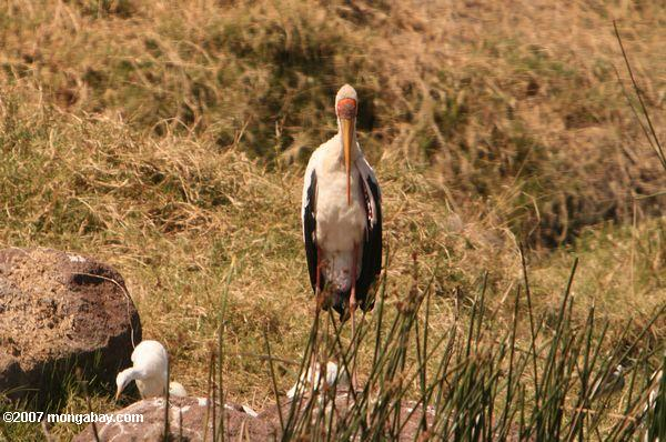 Yellow-billed Stork (Mycteria ibis)