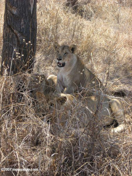 lions showing camouflage abilities