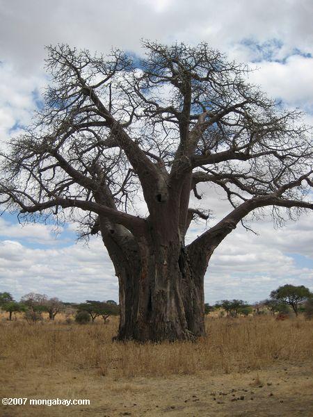 african baobab  adansonia digitata