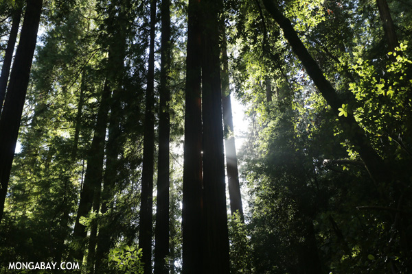 Redwood trees in Big Basin [ca_big_basin_00161]