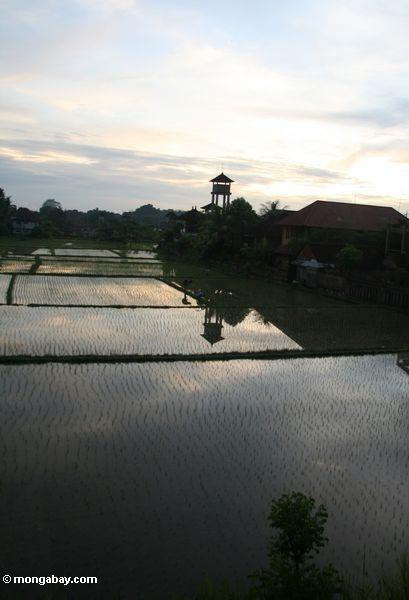 Sunset over the rice paddies of Ubud (Ubud, Bali) -- bali8351