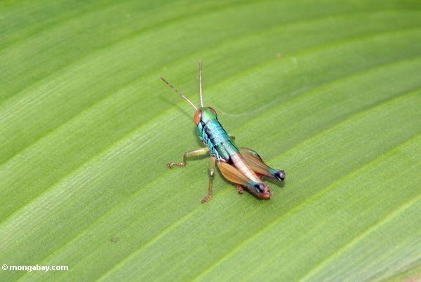 Blue green and copper colored grasshopper with large red eyes and yellow antennae (Java)